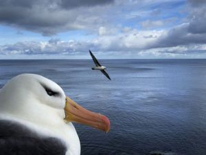 Albatross, Falkland Islands